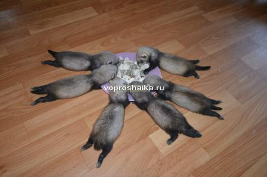 Сколько рублей стоит хорек