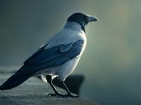 Продолжительность жизни вороны