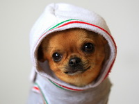 Какова стоимость собаки чихуахуа