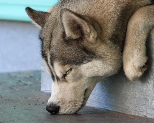 сколько стоит собака хаски щенок