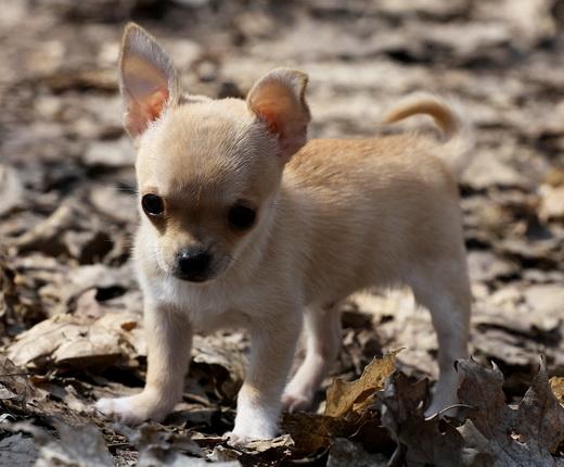 Стоимость щенка собаки чихуахуа