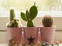 Как ухаживать за домашними кактусами