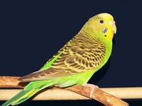 как научить волнистого попугая разговаривать